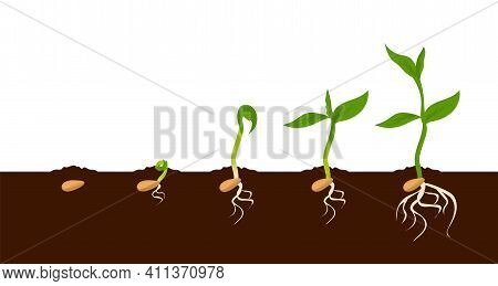 Growing Plant. Sprout Growth Process. Steps Sequence Of Germinating Seeds For Seedlings. Development