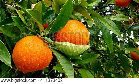 Beautiful Orange With Tree Tasty And Delicious Orange  Fresh And Juicy Fruit Winter Season Fruit Dew