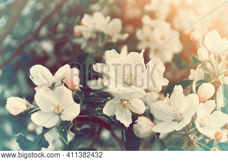Spring blooming apple flowers,spring flower background in vintage tones,spring apple flowers,spring flower landscape,spring flower background,spring flower garden,spring flower nature,apple spring flowers