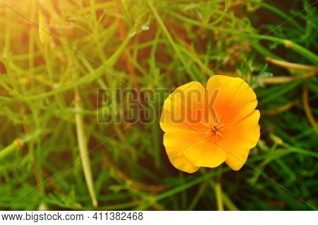 Meadow California poppy flower - in Latin Eschscholzia californica - in the meadow under warm sunny light - summer floral meadow background. Selective focus at the meadow flower