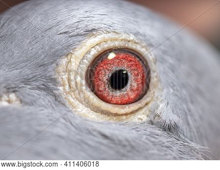 Unique, Colorful Pigeon Eye. Macro Picture. Wild Pigeon.