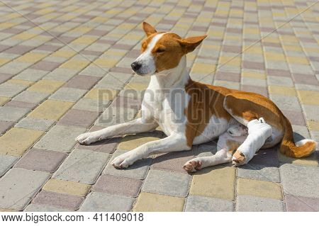Cute Basenji Dog With Broken Bandaged Hind Feet Lying On A Pavement And Relaxing At First Sunny Day