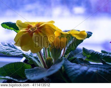 primrose homemade flowers in a pot on the windowsill.