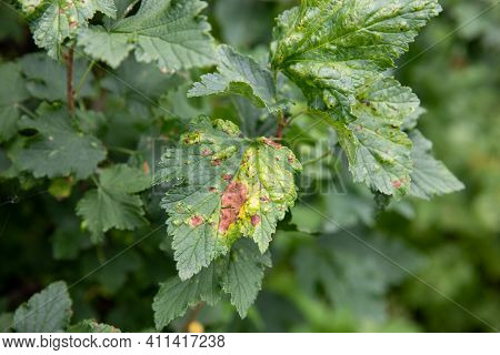 Currant Leaves Are Affected By The Disease. Currant Pests And Diseases. Purple Spotting.