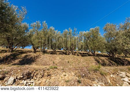 Terraced Field With Olive Trees On The Coastline Of The Lake Garda (lago Di Garda) With Clear Blue S