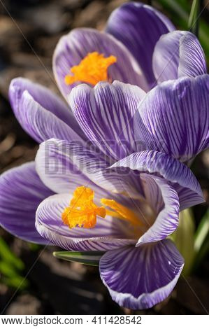 Crocus, Close Up Image Of The Flowers Of\r Spring