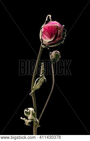 Dried Peony. Isolated On A Black Background Dry Flower With Crumpled Parts Of Dry Leaves And Petals