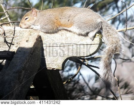 Brown Squirrel Taking A Nap In A Warm Sunny Spot