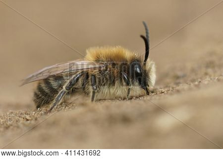Closeup Of A Male Vernal Colletes Or Spring Mining Bee, Colletes Cunicularius Posed On The Soil