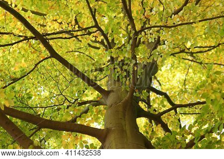 Beech Tree Crown Treetop - Concept Nature Environment Co2 Ecology Green Planet