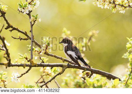 European Pied Flycatcher Ficedula Hypoleuca, A Small Passerine Bird.