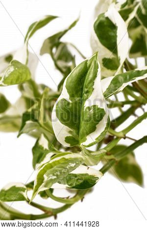 Close Up Of Leaf Of Tropical Houseplant With Botanic Name Epipremnum Aureum N Joy With White And Gre