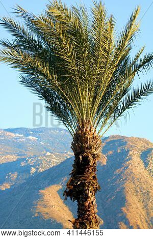 Palm Tree At A Manicured Garden With The Rugged San Jacinto Mountains Beyond Taken At The Colorado D