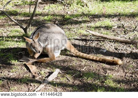 The Yellow Footed Rock Wallaby Is Grey, Brown And White