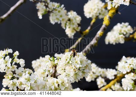 A Honey Bee Collecting Pollen From White Pear Flowers. Flowering Fruit Tree. A Honey Bee With Pollen