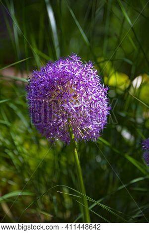 Purple Onion (allium Caeruleum) Is Species Of Perennial Herbaceous Plants Of Genus Allium Of Amaryll