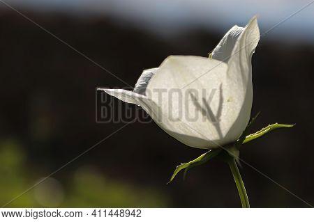 Shadow Of A Bellflower Stigma Silhouette Through Petals