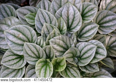 Green Leaves Of Emerald-ripple Peperomia Silver Ripple, A Tropical Plant