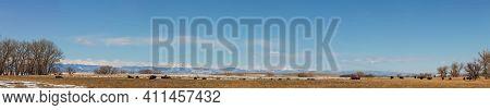 Buffalo Herd At Rocky Mountain Arsenal National Wildlife Refuge, Colorado. Winter Panorama