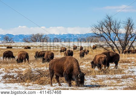 Buffalo Herd At Rocky Mountain Arsenal National Wildlife Refuge, Colorado.
