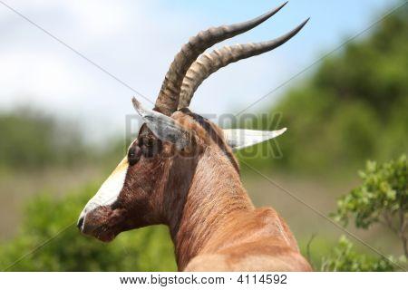 Bontebok Antelope