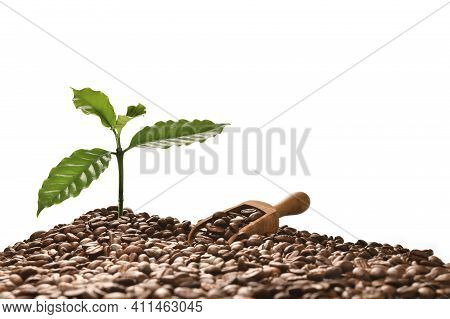 Coffee Tree And Scooper On A Pile Of Coffee Beans Isolated On White Background, Good Coffee Beans Co