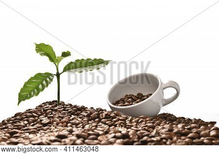 Coffee Tree And Coffee Cup On A Pile Of Coffee Beans Isolated On White Background, Good Coffee Beans