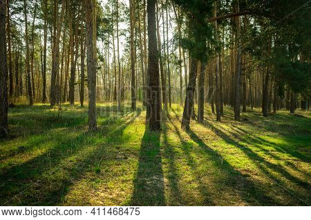 Bright Sun In Pine Trees Forest. Sunlight Gives And Sustain Life In Nature. Renewable Energies And S