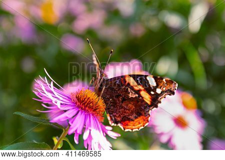 The Vanessa Atalanta Butterfly, The Red Admiral, Or The Red Adorable Butterfly On The Flower. Theme