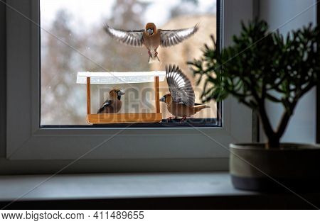 View From The Window To The Bird Feeder With Sitting Bright Colorful Birds Hawfinch. One Bird Beauti