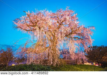 Weeping Cherry Tree In Maruyama Park, Kyoto, Japan At Night