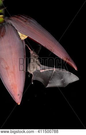 Lonchophylla Robusta, Orange Nectar Bat The Bat Is Hovering And Drinking The Nectar From The Beautif