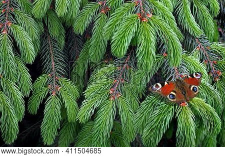 Young Spruce Branches.bright Colorful Red Butterfly On Green Branches Of A Fir Tree.