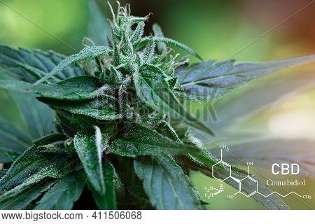 Cbd Formula. Growing Marijuana,  Cannabinoids And Health, Medical Marijuana, Cbd And Thc Elements In