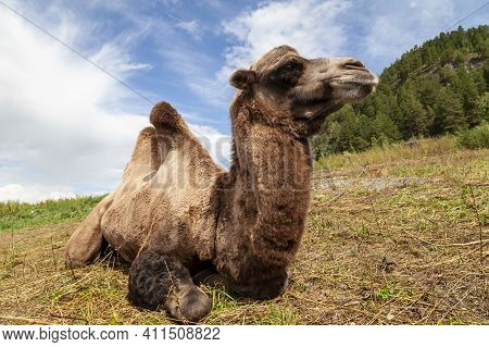 A Camel With A Brown Skin And Two Humps Against A Background Of Green Grass In The Mountains With A