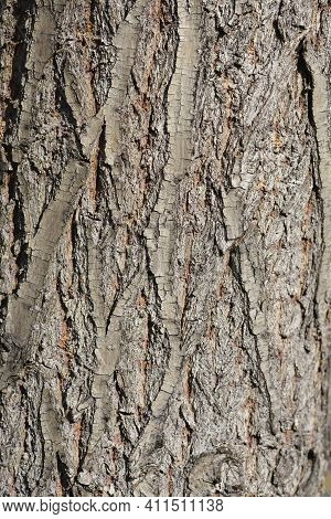 Golden Weeping Willow Bark Detail - Latin Name - Salix Alba Subsp. Vitellina Pendula