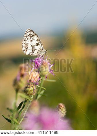 Marbled White Butterfly (melanargia Galathea) Male On Purple Flower Of Greater Knapweed (centaurea S