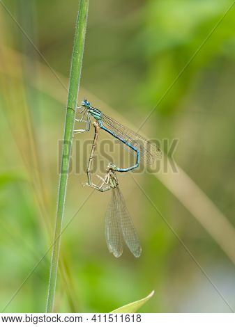 Mating White-legged Damselflies On Green Plant. Two Blue Featherlegs (platycnemis Pennipes) In Tande