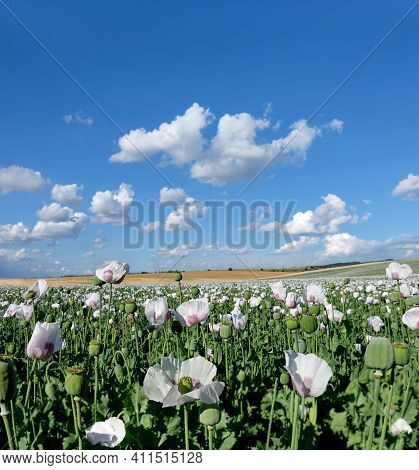 Detail Of Flowering Opium Poppy, In Latin Papaver Somniferum, On A Field. Cloudscape, Sky With Cloud