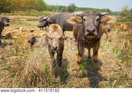 Water Buffalo, Thai Buffalo Herd Is Looking At Visitors, Thai Buffalo.buffalo Herd.
