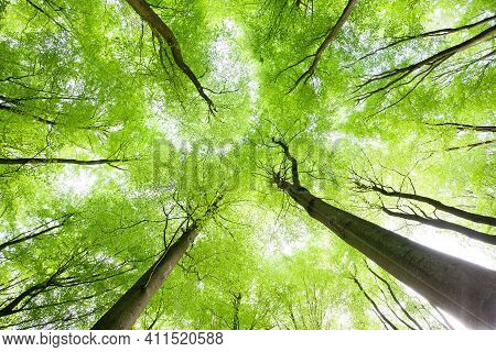 Looking Up To Spring Tree Canopy In The Forest. Fresh Green Leaves On Tall Trees