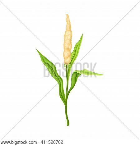 Sorghum As Grain Crop Or Cereal Specie And Cultivated Grass On Stalk With Inflorescences Vector Illu
