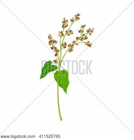 Buckwheat As Grain Crop Or Cereal Specie And Cultivated Grass On Stalk With Inflorescences Vector Il