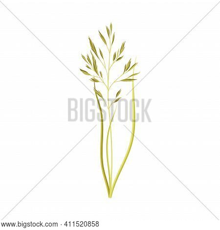 Oat As Grain Crop Or Cereal Specie And Cultivated Grass On Stalk With Inflorescences Vector Illustra