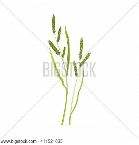 Grain Crop Or Cereal Specie And Cultivated Grass On Stalk With Inflorescences Vector Illustration
