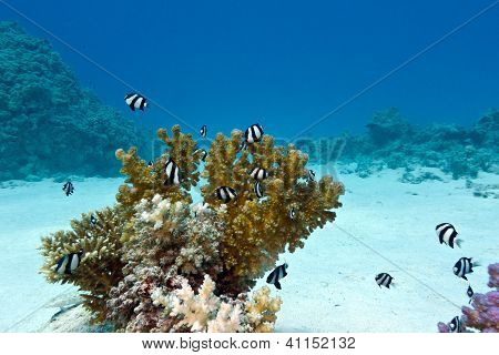 coral reef with hard coral and exotic fishes white-tailed damselfish at the bottom of red sea