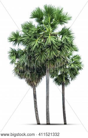 Sugar Palm Tree,  Sugar Palm Trees Or Toddy Palm Isolated On White Background.