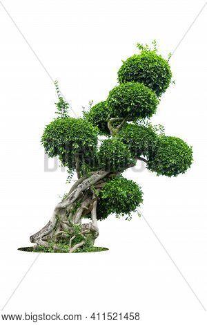 Tako Tree Bending On Isolate White Background.bonsai Ebony Element Tree For Decorate Architect Desig
