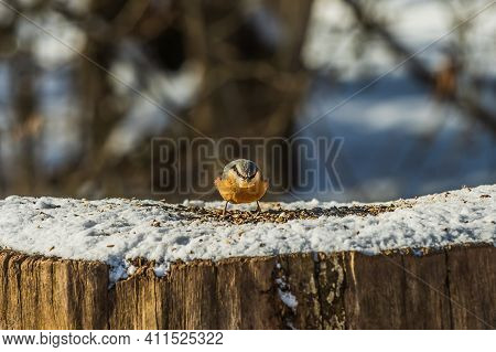 Singing Bird With Grain In Its Beak In The Sunshine. Snow-covered Log With Woodpecker Tit Bird At Fr