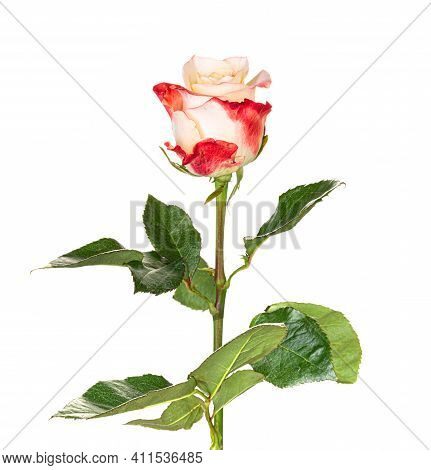 Beautiful Red White Rose With Long Stem Isolated On White Background